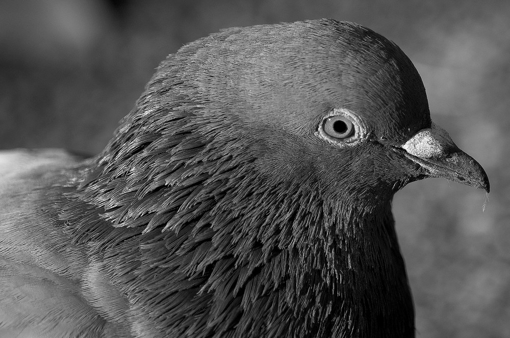 "Pigeon ""black and white"""