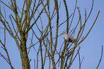 pigeon breton