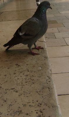 Pigeon..