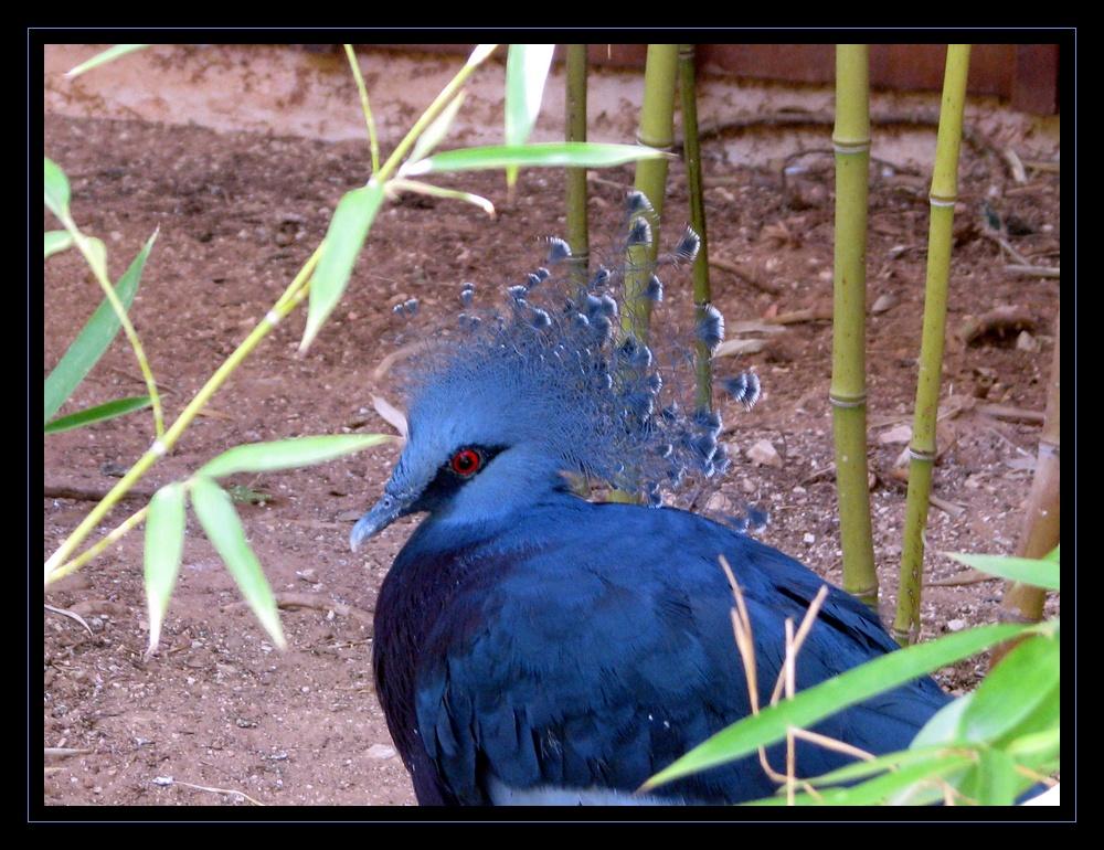 Pigeon géant ???