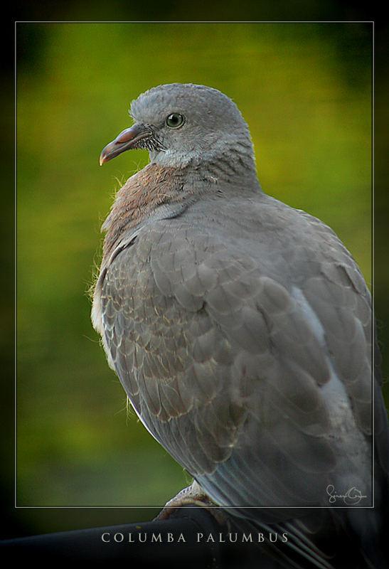 Pigeon III