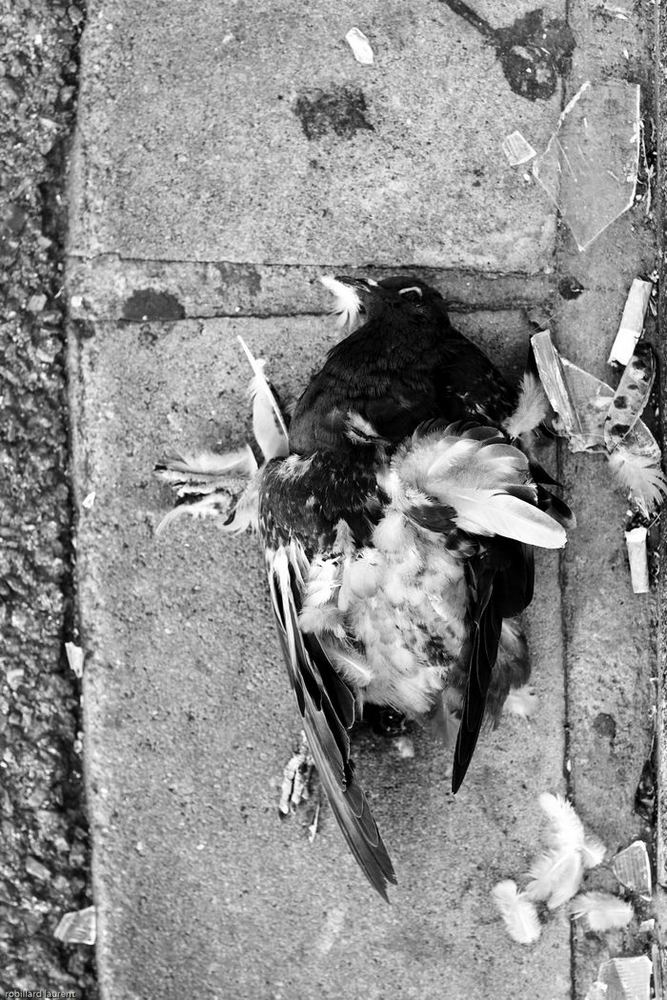 pigeon mort
