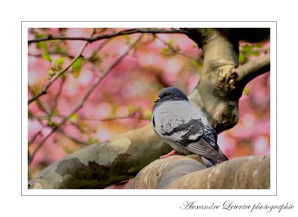 pigeon parisien sur fond de cerisier fleuri