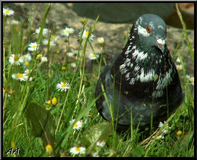 Pigeon vole ou ne vole pas