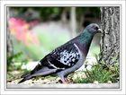 Pigeon, voyageur sur le quai