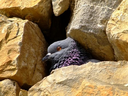 Pigeonne couvant