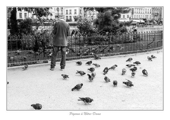 Pigeons à Nôtre-Dame