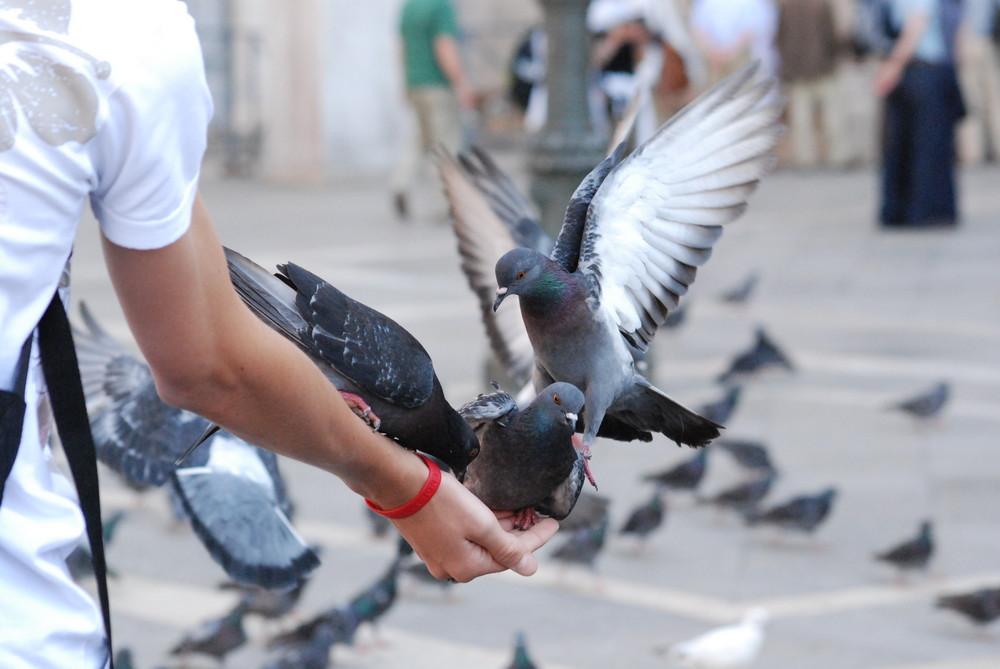 Pigeons de venise
