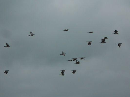 Pigeons ramiers en vol