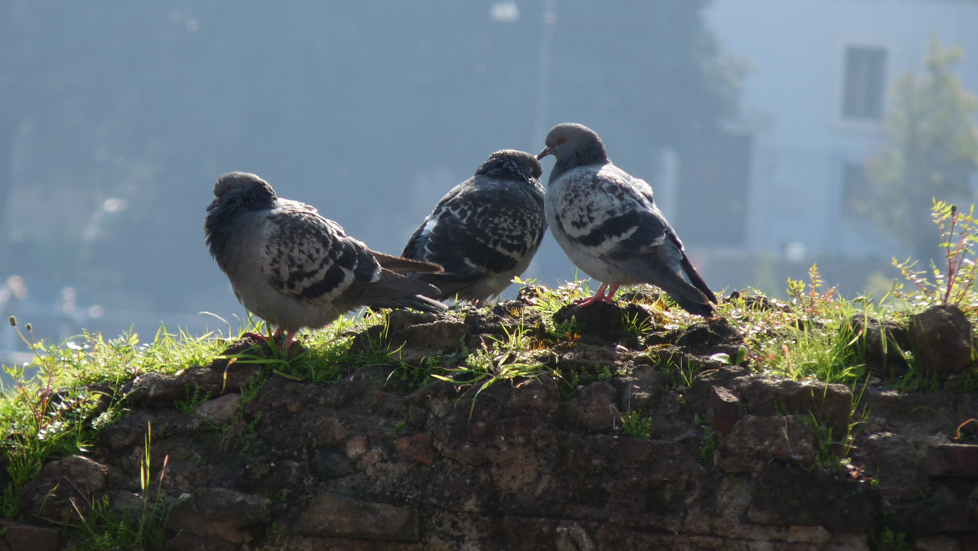 Pigeons Romains, Forum Romain, Rome