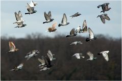 Pigeons volent !