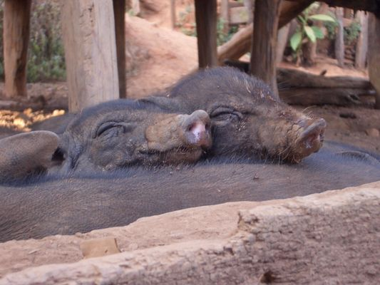 Piggy Sleep in Northern Thailand