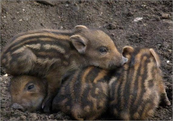 piglets / Frischlinge