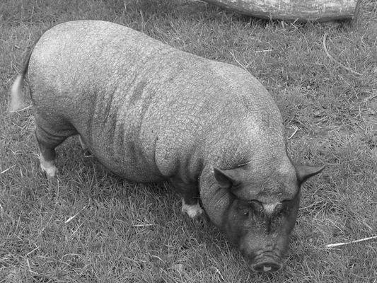 Pigsel