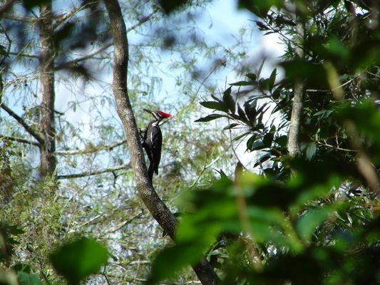 Pilated Woodpecker im Corkscrewswamp bei Ft. Myers in Florida im Oktober 2007