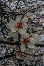 Pilé de flores de almendro