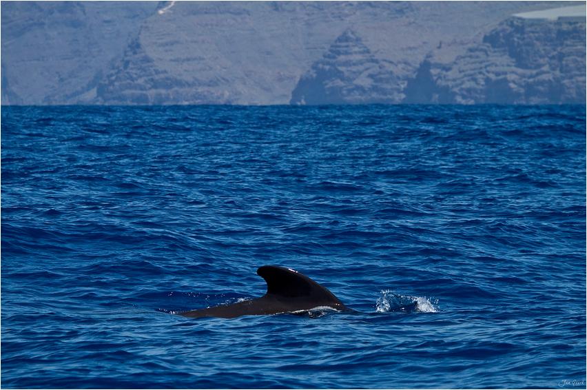 Pilotwale vor Gomera