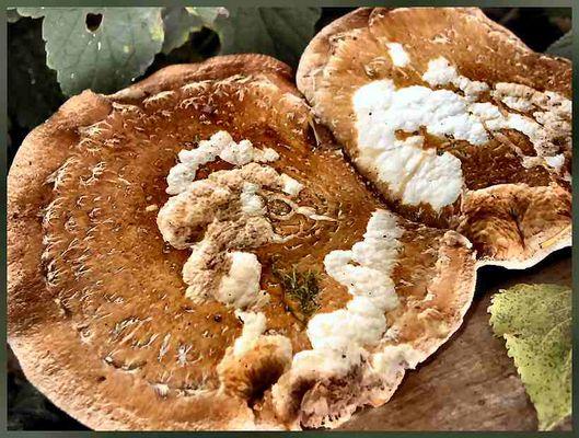Pilz auf Pilz - Pizza Funghi ?