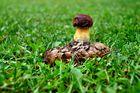 Pilz auf Wiese