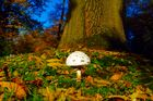 Pilz im Herbst-Laub