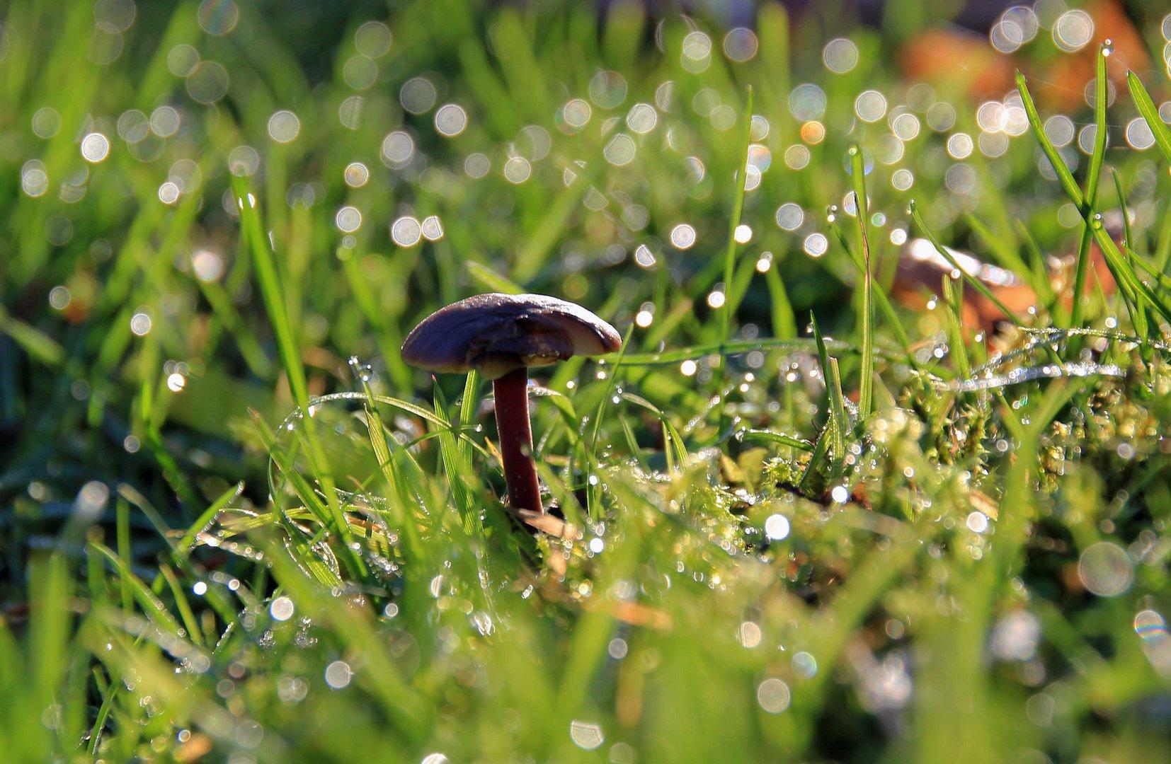 Pilz im Morgentau