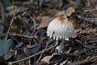 Pilz in schönem Röcklein