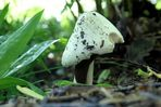 Pilz mit Gast