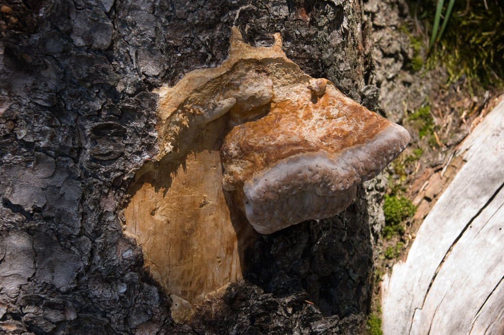 Pilz oder Harz