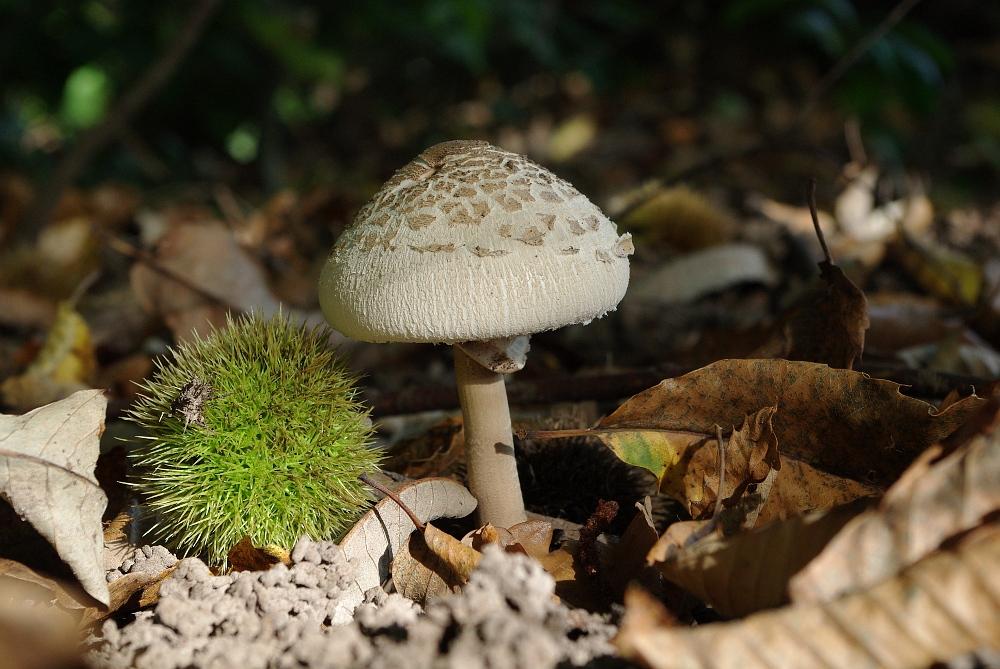 Pilz- und Esskastanien-Zeit