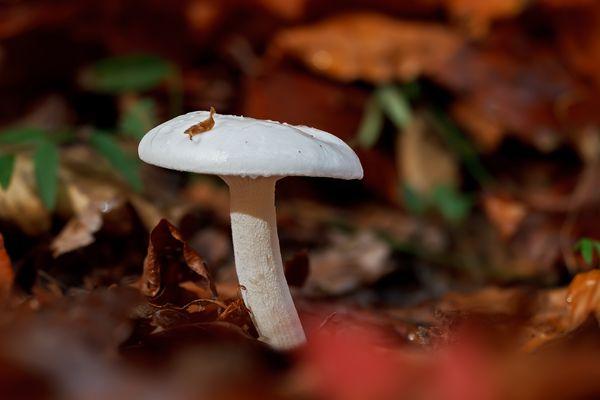 Pilze 90/12 - Elfenbein Schneckling ?