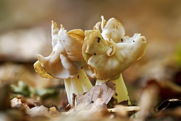 Pilze 93/12 - Herbst Lorchel