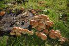 Pilze am Baumstumpf