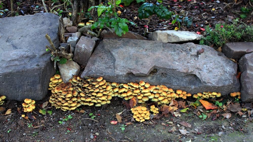 -Pilze an der alten Gartenmauer-