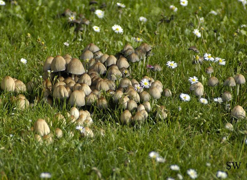 pilze auf der wiese foto bild pflanzen pilze flechten pilze flechten anfang bilder. Black Bedroom Furniture Sets. Home Design Ideas