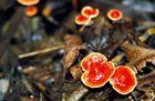 Pilze im Ecuadorianischen Dschungel