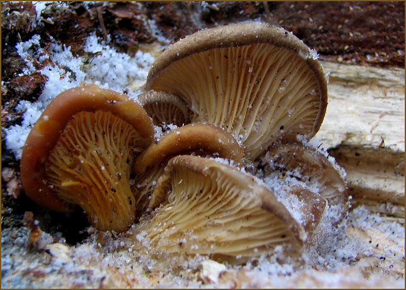 Pilze im Schneegestöber.