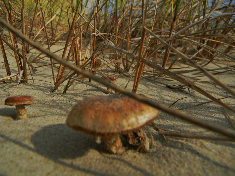 Pilze in den Dünen