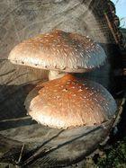 Pilze in der Abendsonne