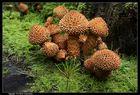 "Pilze so gross wie ein Baum ""g"", Sparrige Schüpplinge (Pholiota squarrosa)  - Genus Pholiata"
