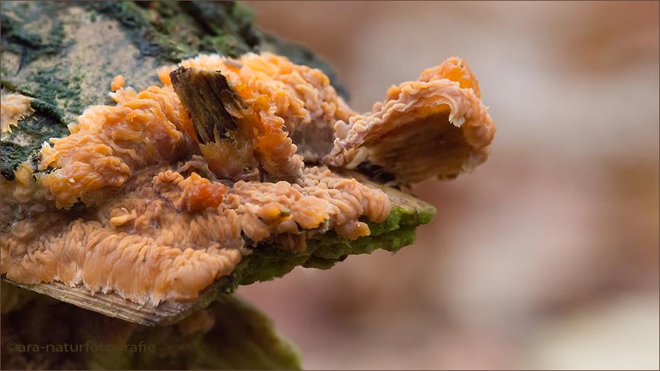Pilze und 16:9 - Orangeroter Kammpilz