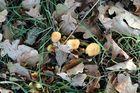 Pilze_Eichenlaub
