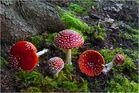 Pilzfamilie - Fliegenpilze #02
