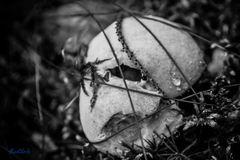 Pilz/Schädel