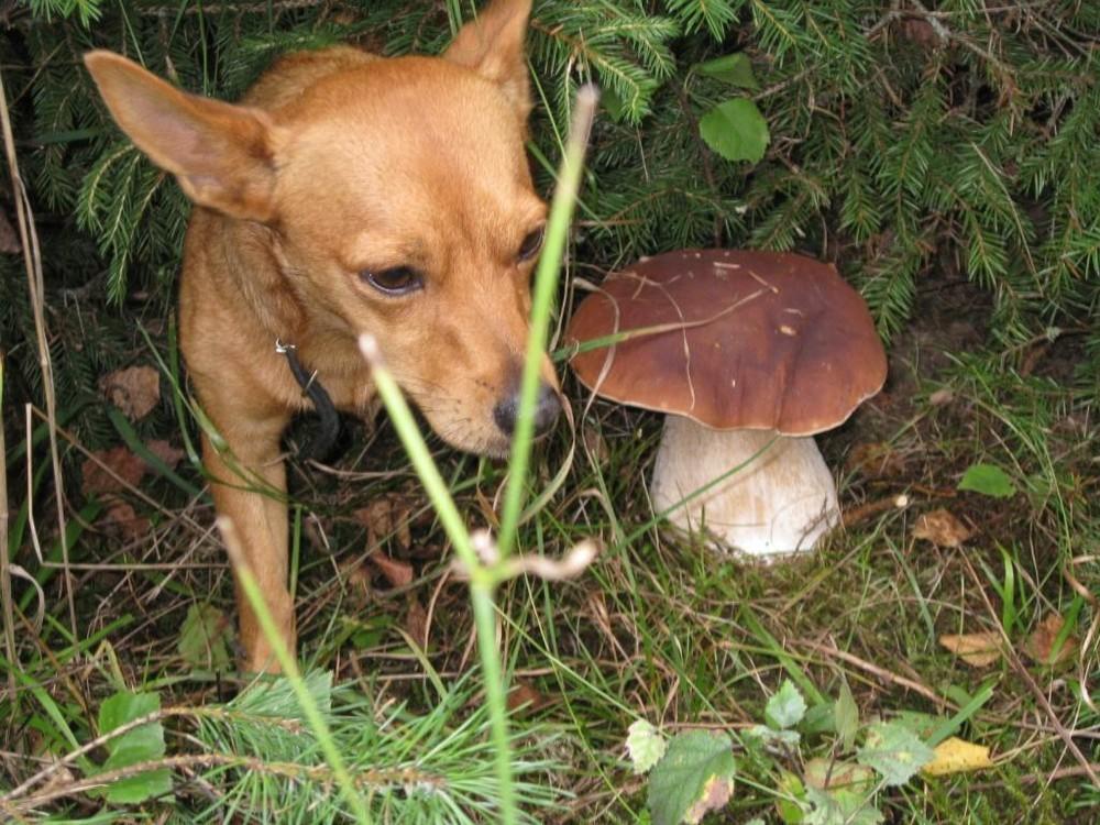 Pilzsuchhund