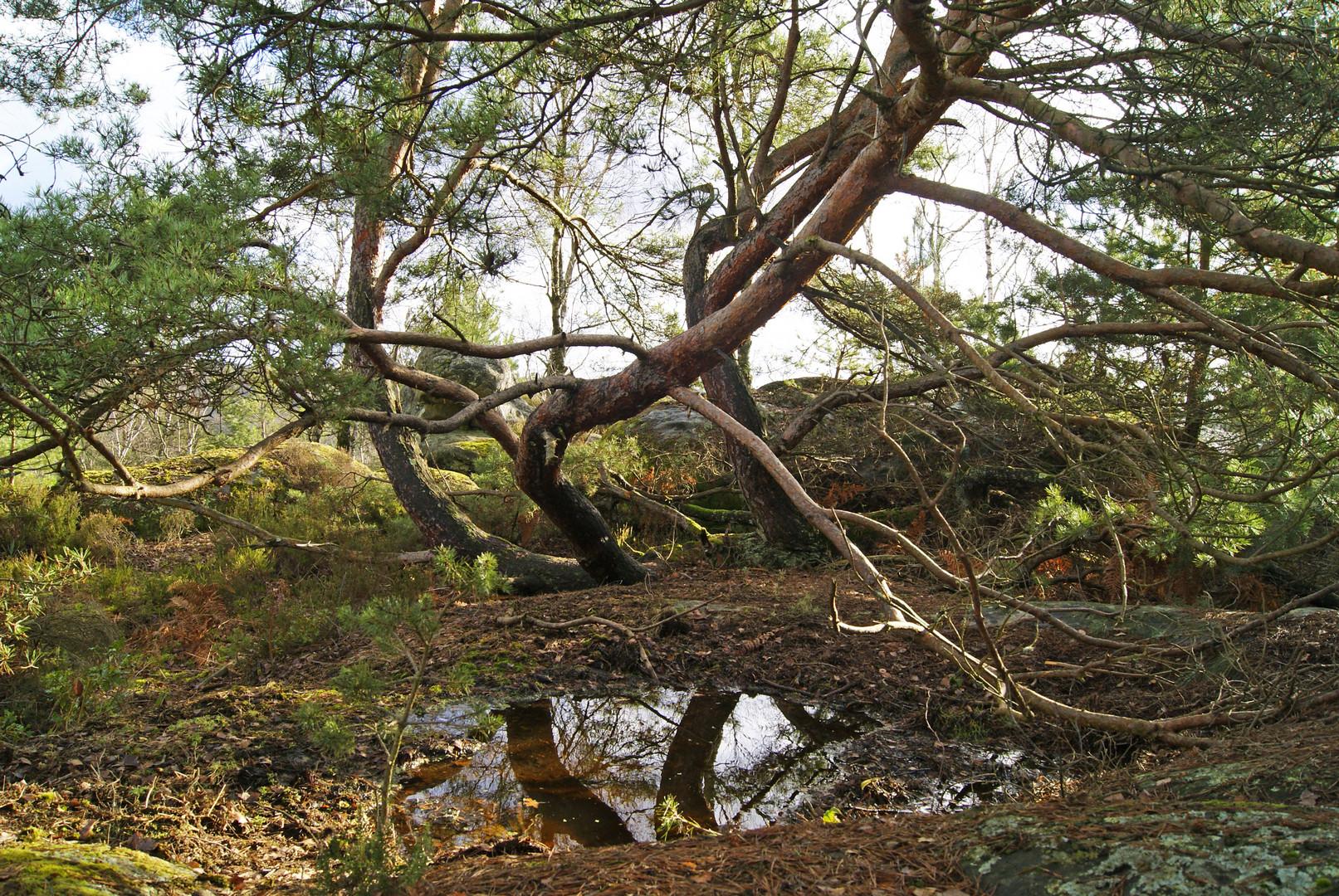 pin en forêt de Fontainbleau