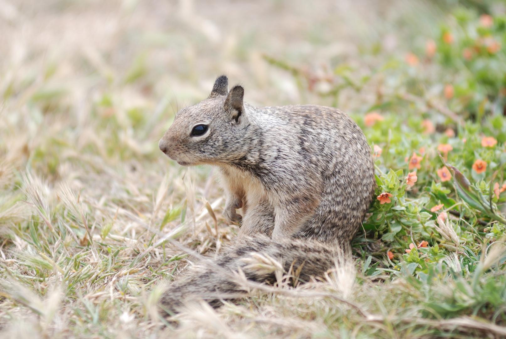 Pine squirrel