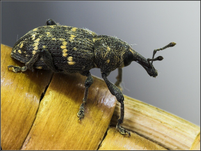 Pine weevil - Hylobius abietis - klikoroh borový