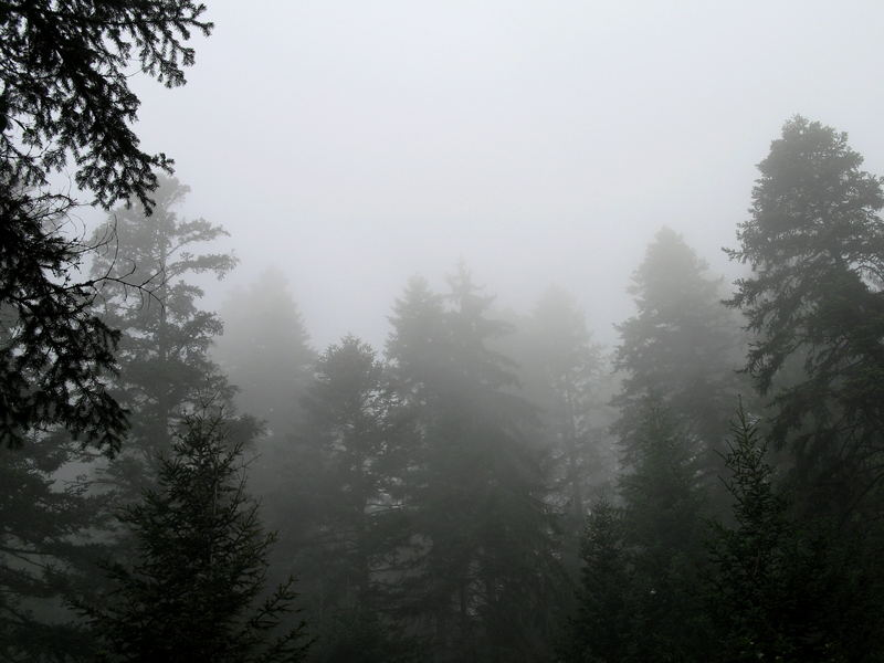 Pines in the Fog