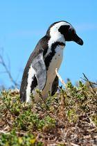 Pingu auf einem Spaziergang