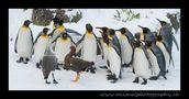 Pingu Chor mit zwei Dirigenten! von animalphotography